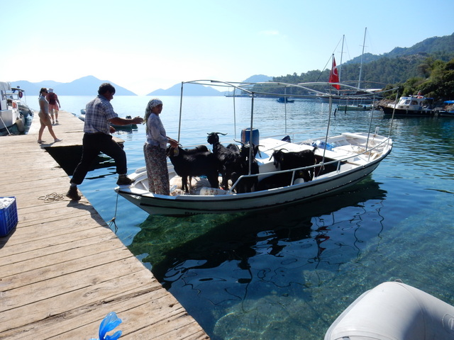 Goats get dropped off at the dock, Sarsala Koyu (Göcek)