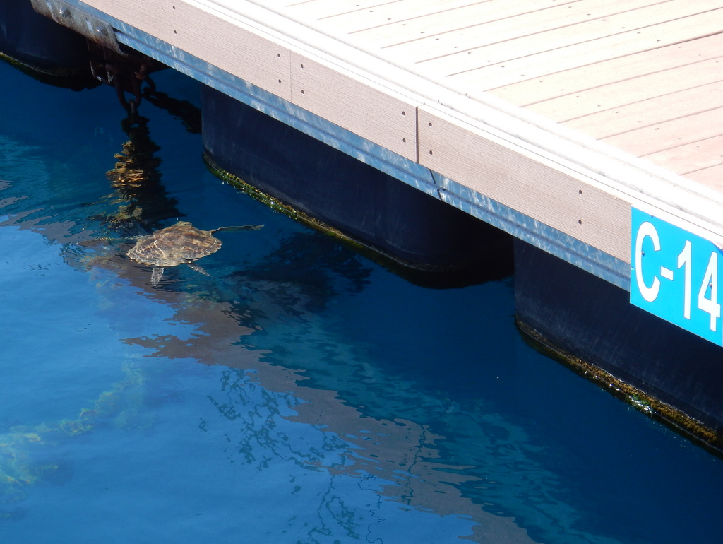 Our sea turtle neighbor who hangs out in the adjacent berth.