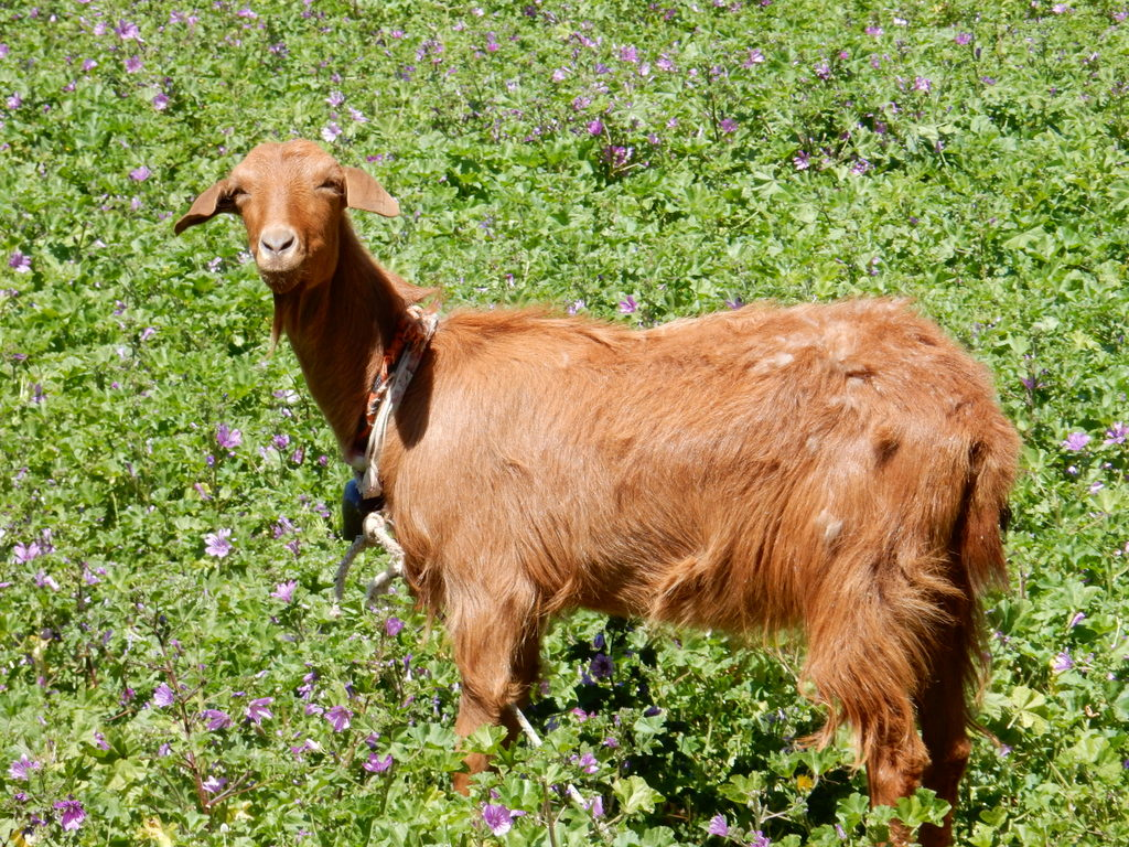 Goat munches on wildflowers