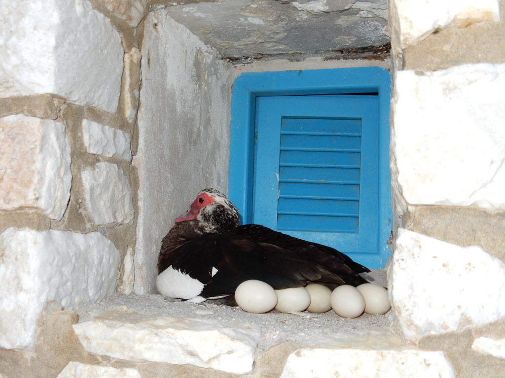 Duck guards her eggs, Naoussa harbor, Paros