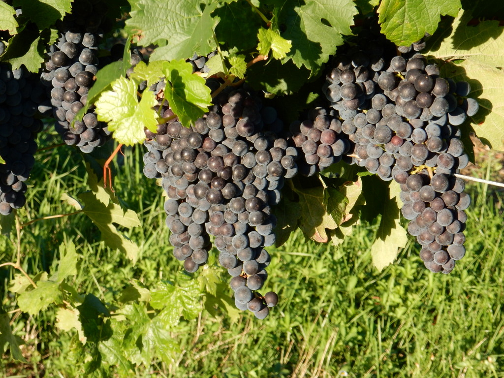 Grapes are almost ready for harvest in Vineyards surround our  chambre d'hôtes in Saint-Quentin-de-Caplong