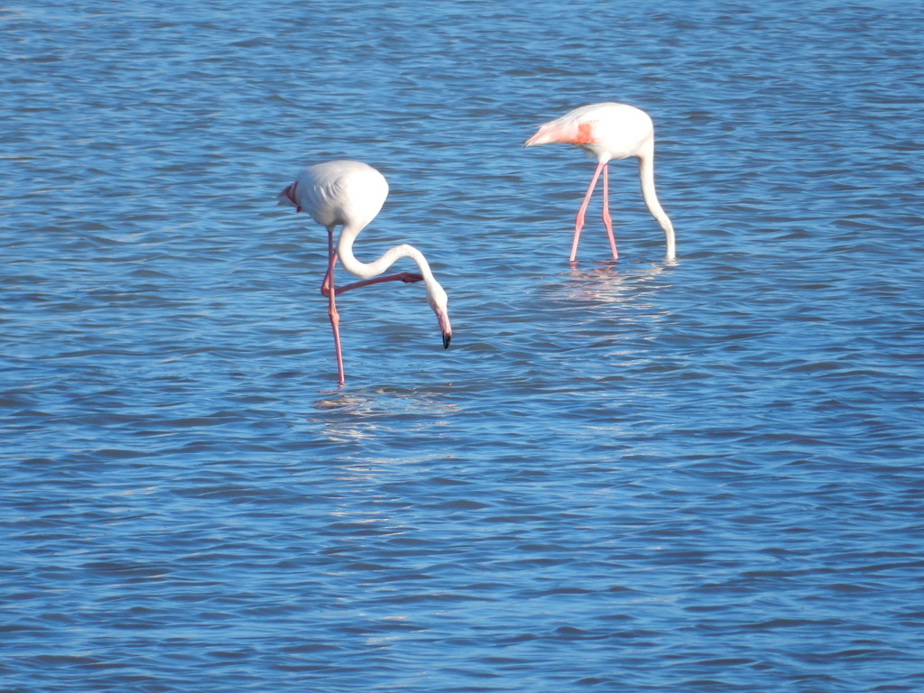 Flamingos wade in the salt pan next to town