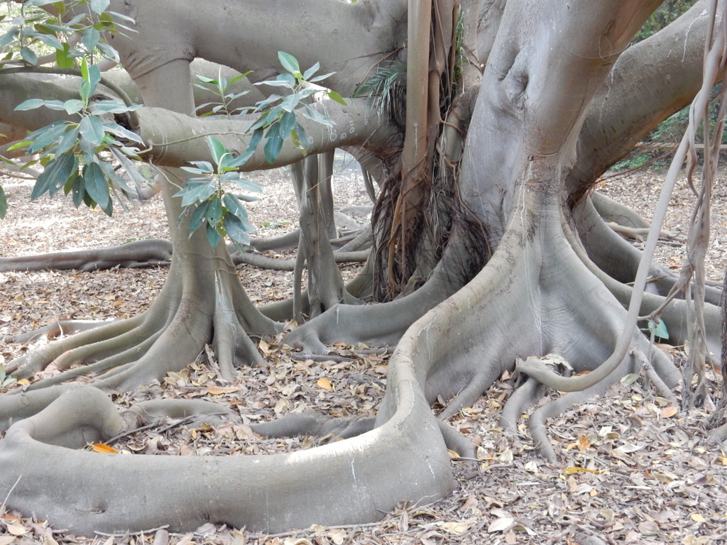 Tree in the public garden, Cagliari